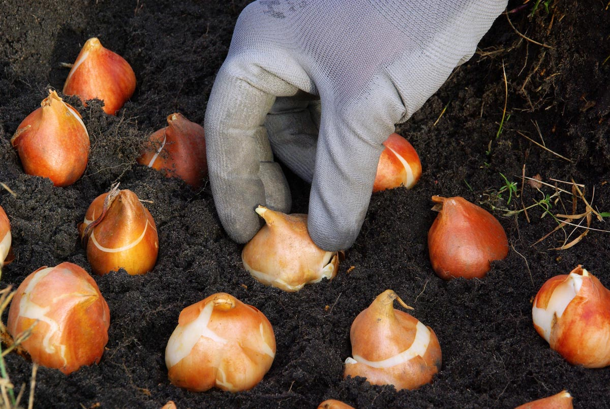 Fall Planting Bulbs MDI Grows